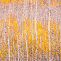 Young Aspen Grove, North Rim — Grand Canyon, AZ © jj raia