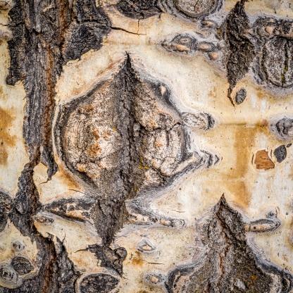 Aspen Trunk Detail — Grand Teton © jj raia